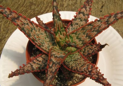 Rancho Tissue Introduces Fabulous Fish Aloes