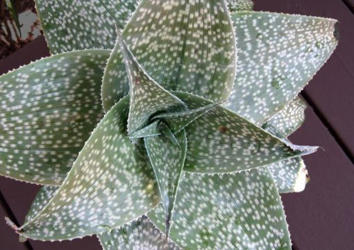Two new Agaves added to Availability