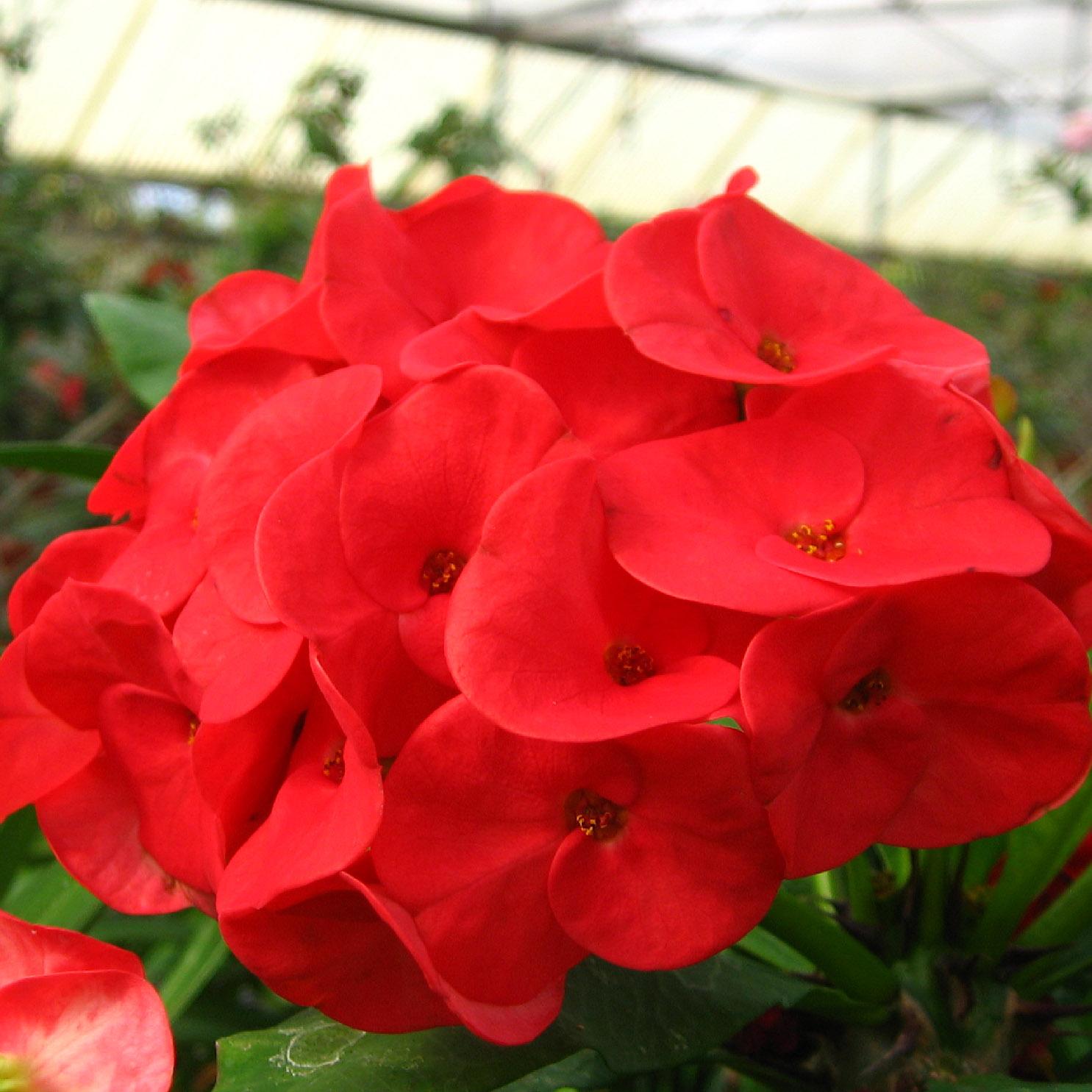 EUPHORBIA milii Supergrandiflora\' (10 Colors) - Rancho Tissue ...