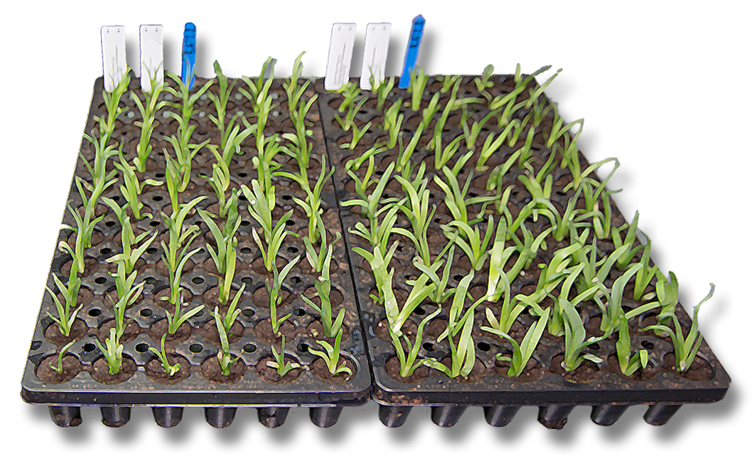 Rancho Tissue plant culture tray