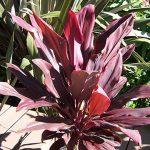 Rancho Tissue Ruby Plant