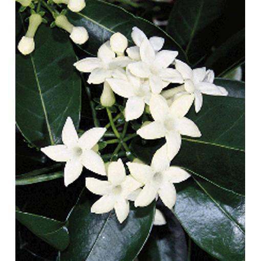 stephanotis floribunda White Frosting