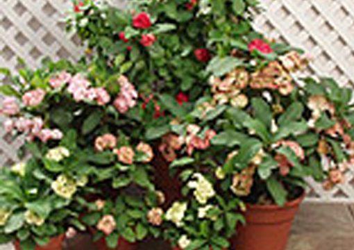 New Euphorbia 'Supergrandiflora'