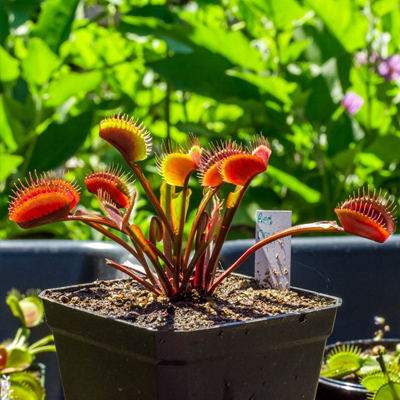 39-dionaea-red-trap-venus-fly-trap