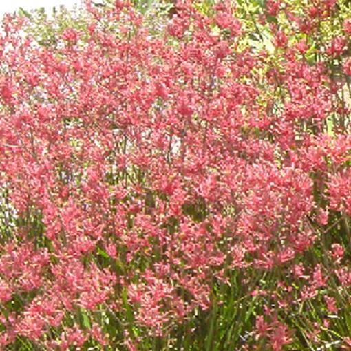 ANIGOZANTHOS Pink Joey pink