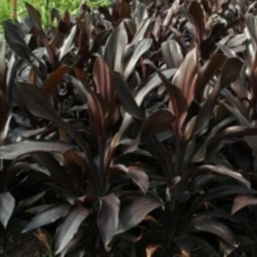 CORDYLINE fructosa 'Caruba Black'