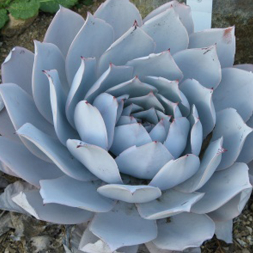 ECHEVERIA cante' White Cloud'