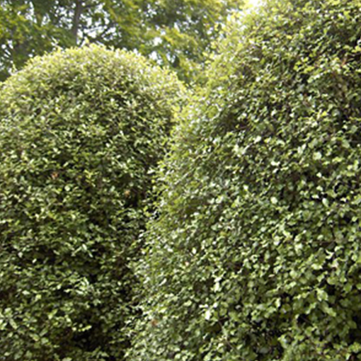 PITTOSPORUM Tenu. 'Silver Sheen'