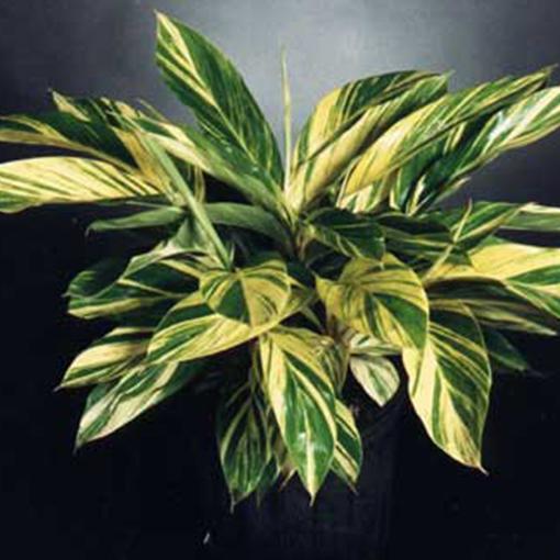 GINGER Alpinia zer. 'Variegata'