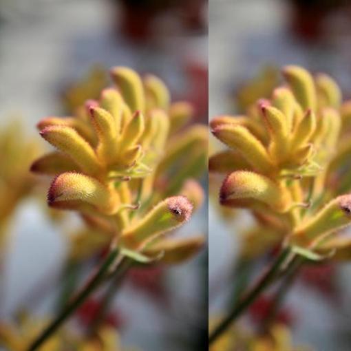 ANIGOZANTHOS 'Cape Aurora' yellow flr