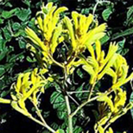 ANIGOZANTHOS 'Bush Dawn' Yellow