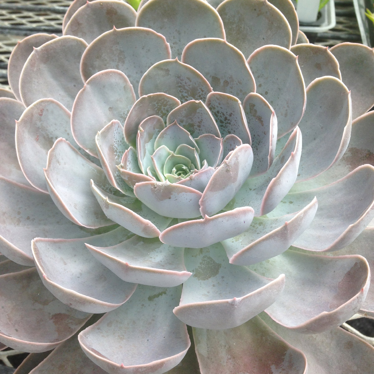 Echeveria Dusty Violet