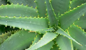 Agave Banner