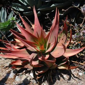 Aloe ukambensis